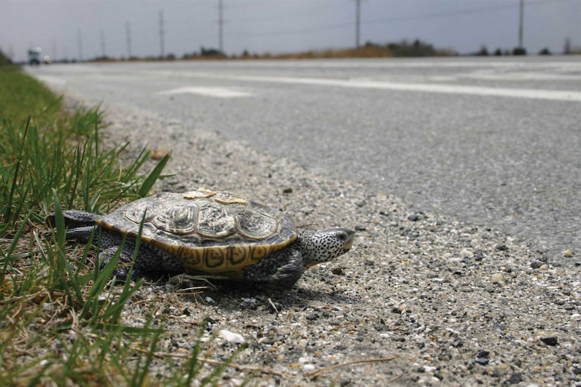Crossing Terrapins on Delaware's Route 1